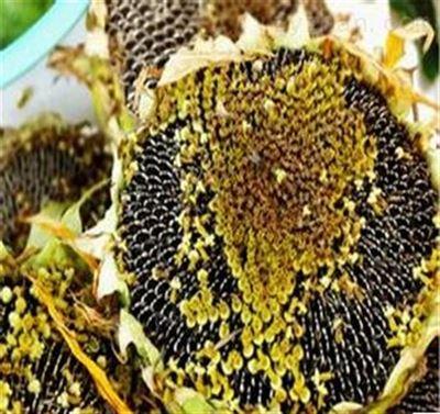 植物提取物  葵花籽蛋白 浸膏多种规格1公斤